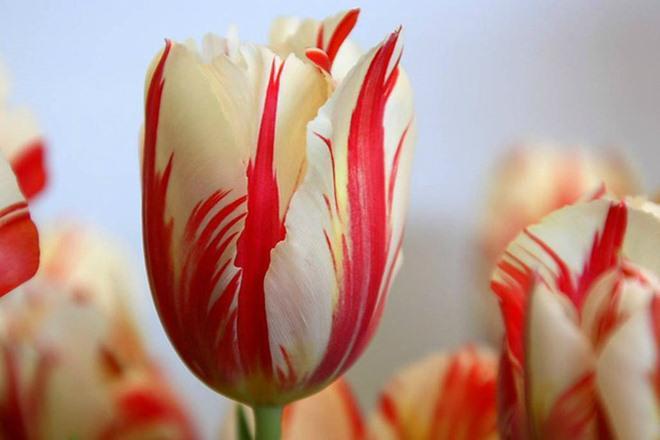 chiem nguong loai hoa tulip thuan chung co nguon goc tu the ky 17 gia cuc dat do - 3