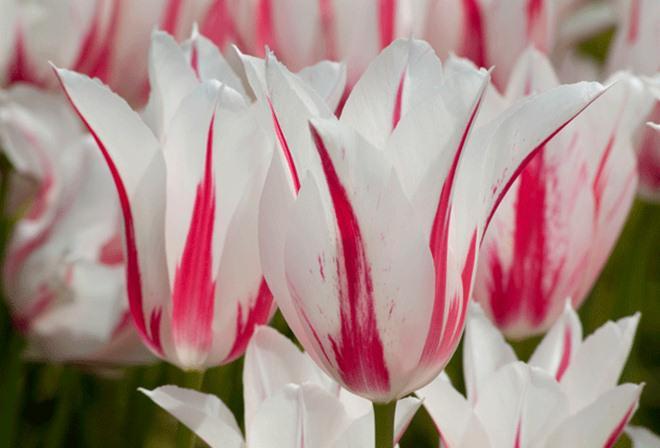 chiem nguong loai hoa tulip thuan chung co nguon goc tu the ky 17 gia cuc dat do - 5