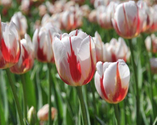 chiem nguong loai hoa tulip thuan chung co nguon goc tu the ky 17 gia cuc dat do - 7