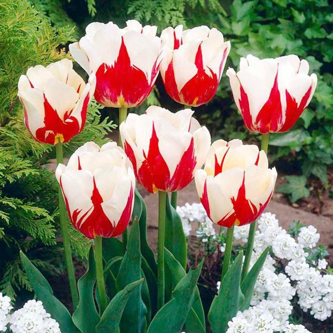 chiem nguong loai hoa tulip thuan chung co nguon goc tu the ky 17 gia cuc dat do - 8
