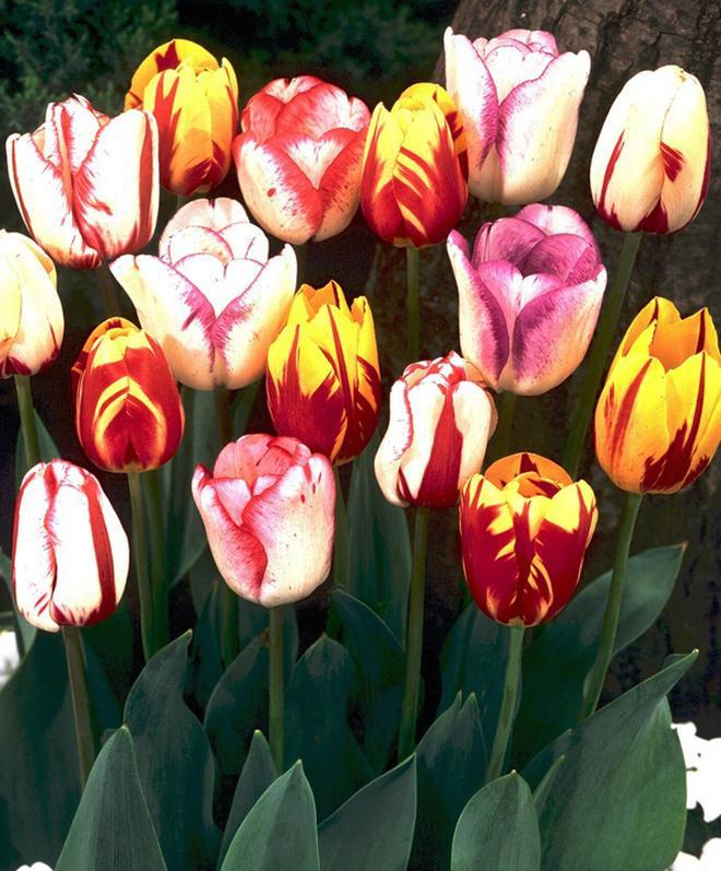 chiem nguong loai hoa tulip thuan chung co nguon goc tu the ky 17 gia cuc dat do - 9
