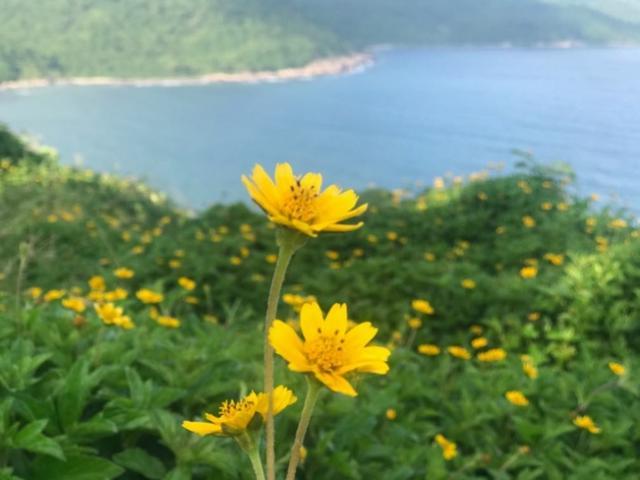 Du khách mê mẩn Hoa vàng trên cỏ xanh trên đỉnh Sơn Trà - Đà Nẵng
