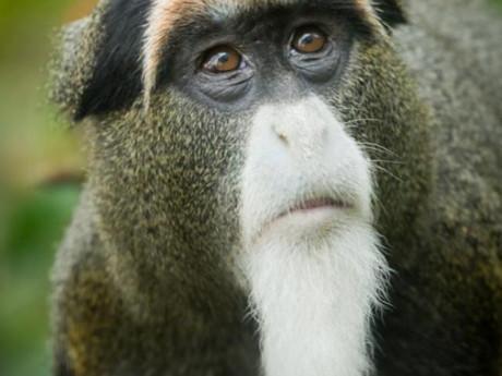 Độc: Lý do bất ngờ khiến con khỉ có bộ râu bạc trắng được nhiều người tìm mọi cách mua