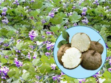 Phát hiện loài sâm quý chứa hoạt chất giúp bổ sung estrogen gấp 10.000 lần từ mầm đậu nành