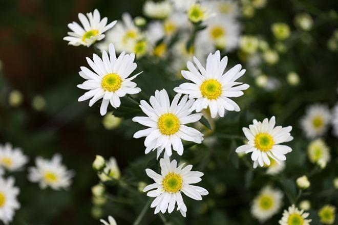 cuc hoa mi o ha noi vao mua: dau chi gioi tre, ong ba gia cung keo nhau di chup - 9