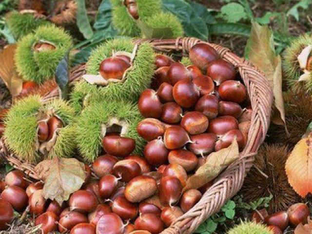 Ăn hạt dẻ vào mùa lạnh tốt hơn thuốc bổ nhưng lưu ý điều này nếu không nhập viện gấp