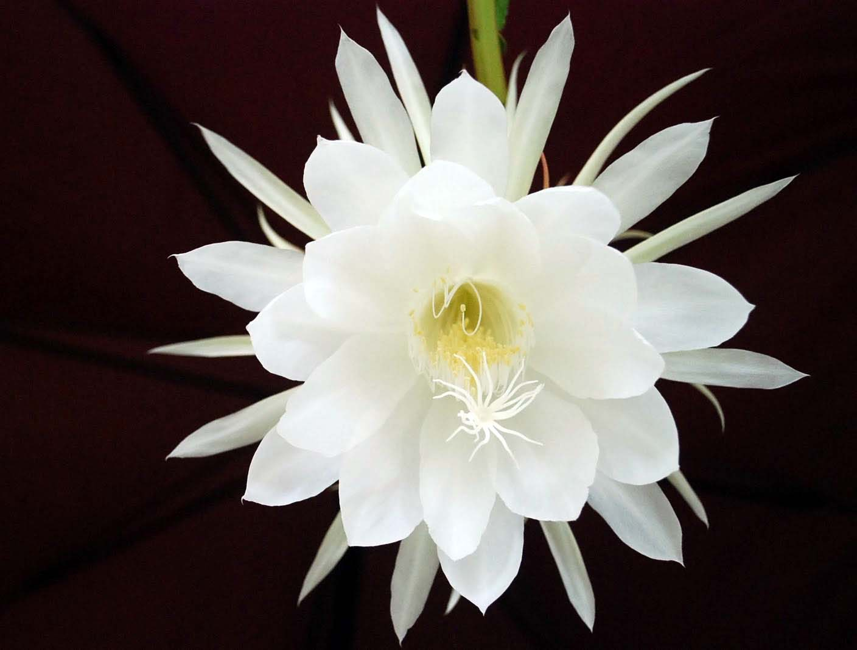 9 loai hoa dat nhat hanh tinh, co loai den vang 9999 cung khong la gi - 8