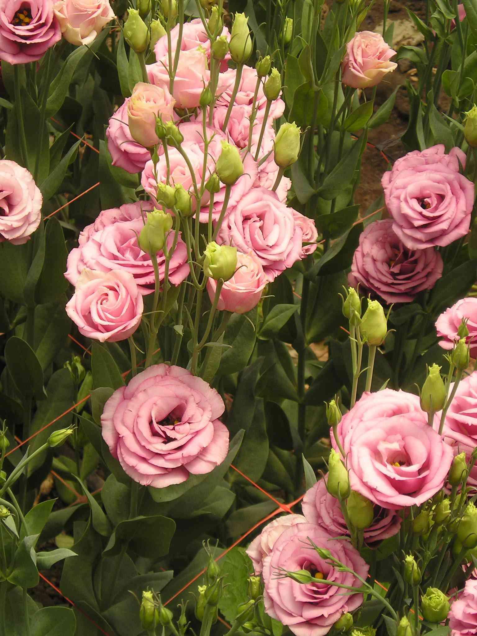 9 loai hoa dat nhat hanh tinh, co loai den vang 9999 cung khong la gi - 16