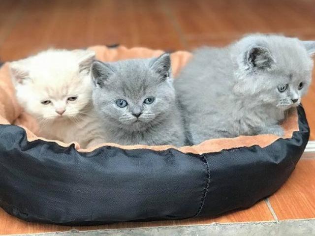 Mèo Anh lông ngắn - Đặc điểm, phân loại, cách nuôi và chăm sóc