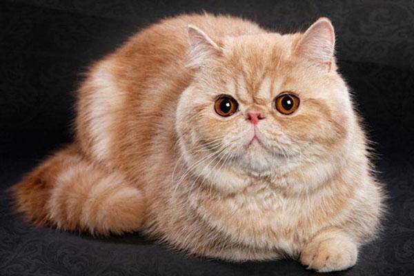 Mèo Ba Tư - Đặc điểm, giá bán, cách nuôi và chăm sóc tốt nhất - 6