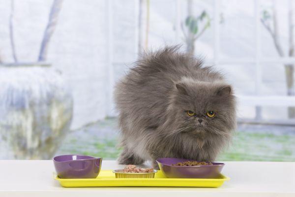 Mèo Ba Tư - Đặc điểm, giá bán, cách nuôi và chăm sóc tốt nhất - 9