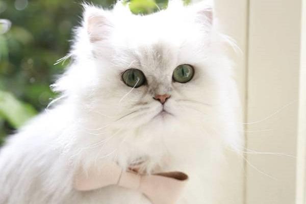 Mèo Ba Tư - Đặc điểm, giá bán, cách nuôi và chăm sóc tốt nhất - 8