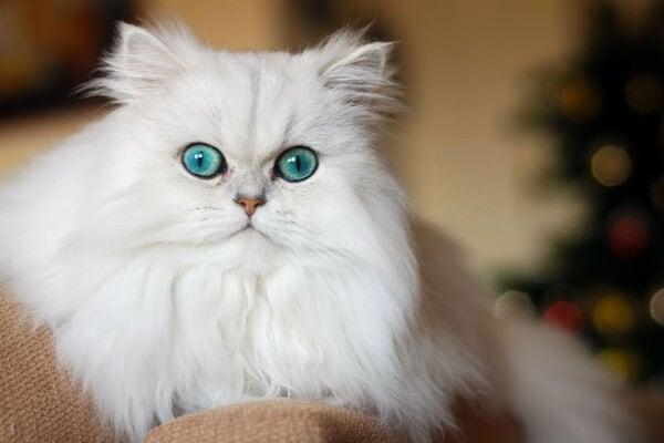Mèo Ba Tư - Đặc điểm, giá bán, cách nuôi và chăm sóc tốt nhất - 4