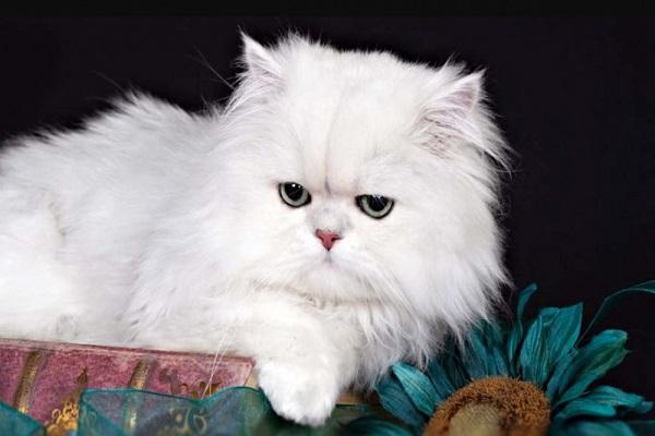 Mèo Ba Tư - Đặc điểm, giá bán, cách nuôi và chăm sóc tốt nhất - 3