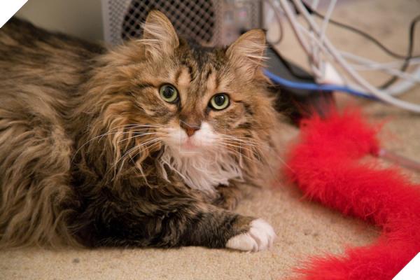 Mèo Maine Coon: Đặc điểm, cách nuôi và chăm sóc, giá bán - 5