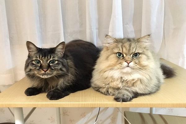 Mèo Maine Coon: Đặc điểm, cách nuôi và chăm sóc, giá bán - 8
