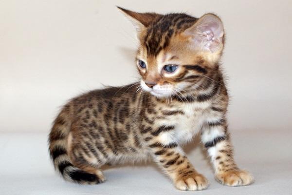 Mèo Bengal giá bao nhiêu? Đặc điểm, tính cách và cách chăm sóc - 4