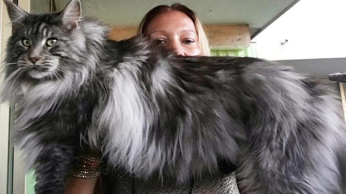 Mèo Maine Coon: Đặc điểm, cách nuôi và chăm sóc, giá bán - 3