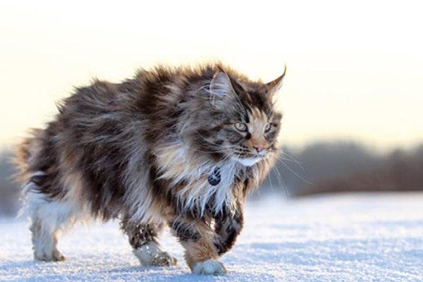 Mèo Maine Coon: Đặc điểm, cách nuôi và chăm sóc, giá bán - 4
