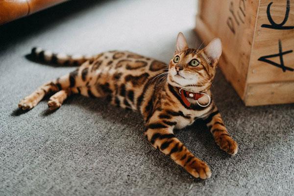 Mèo Bengal giá bao nhiêu? Đặc điểm, tính cách và cách chăm sóc - 1