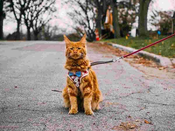 Mèo Maine Coon: Đặc điểm, cách nuôi và chăm sóc, giá bán - 7