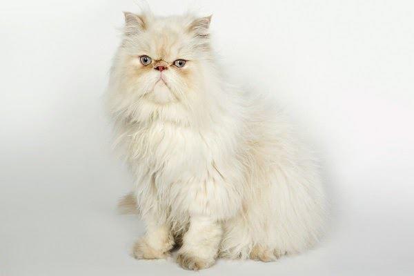 Mèo Ba Tư - Đặc điểm, giá bán, cách nuôi và chăm sóc tốt nhất - 5