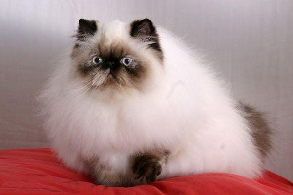 Mèo Ba Tư - Đặc điểm, giá bán, cách nuôi và chăm sóc tốt nhất - 7