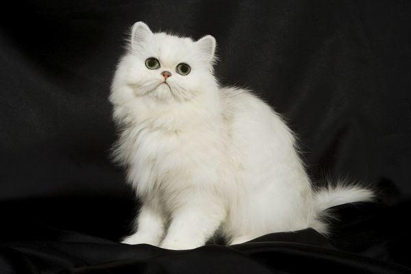 Mèo Ba Tư - Đặc điểm, giá bán, cách nuôi và chăm sóc tốt nhất - 11