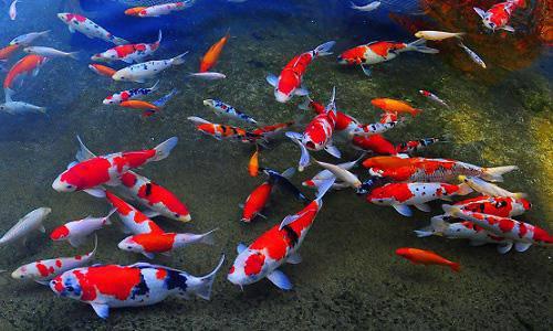 7 loài cá phong thủy mang ý nghĩa may mắn, tốt lành, giúp gia chủ gặt hái tài lộc - 1