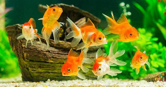 7 loài cá phong thủy mang ý nghĩa may mắn, tốt lành, giúp gia chủ gặt hái tài lộc - 5