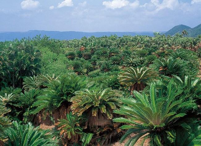 Cây lạ chờ mòn mỏi 10 năm mới ra quả, có chứa độc, ở Việt Nam bán hốt bạc - 3