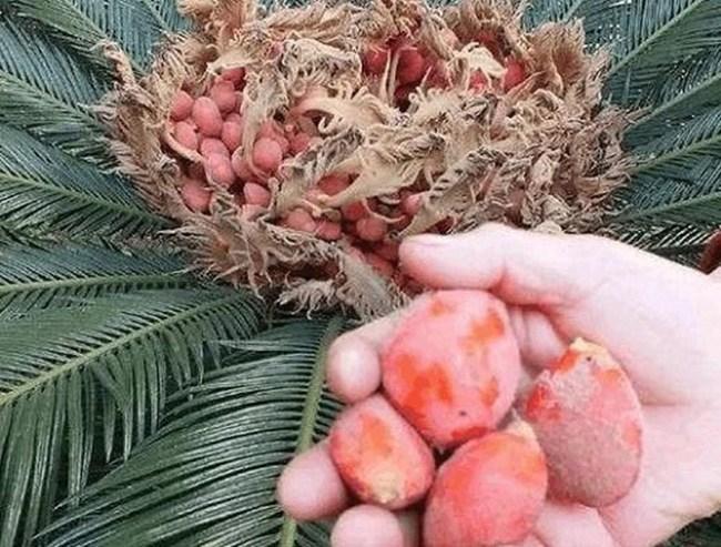 Cây lạ chờ mòn mỏi 10 năm mới ra quả, có chứa độc, ở Việt Nam bán hốt bạc - 8