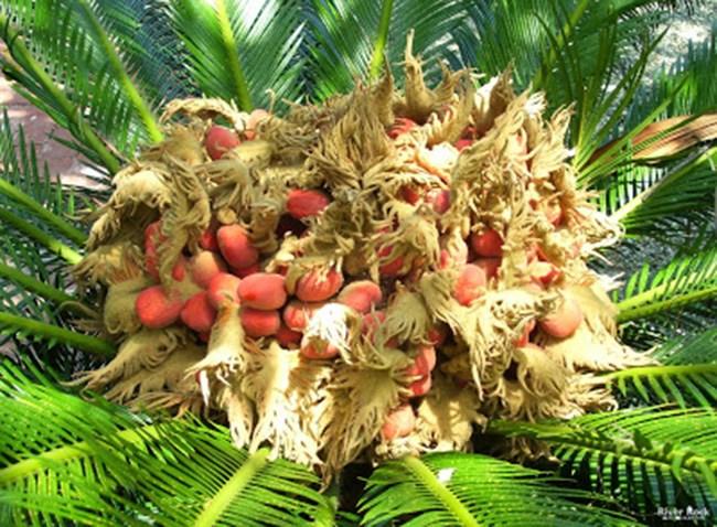 Cây lạ chờ mòn mỏi 10 năm mới ra quả, có chứa độc, ở Việt Nam bán hốt bạc - 5