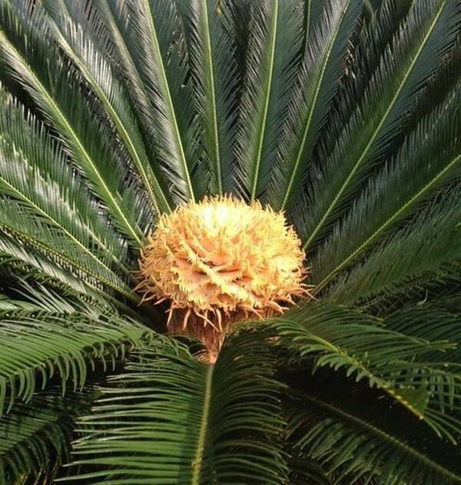 Cây lạ chờ mòn mỏi 10 năm mới ra quả, có chứa độc, ở Việt Nam bán hốt bạc - 6