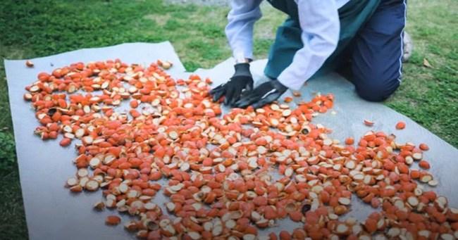 Cây lạ chờ mòn mỏi 10 năm mới ra quả, có chứa độc, ở Việt Nam bán hốt bạc - 11