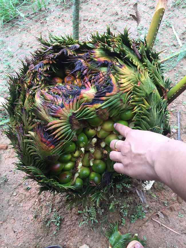 Cây lạ chờ mòn mỏi 10 năm mới ra quả, có chứa độc, ở Việt Nam bán hốt bạc - 14