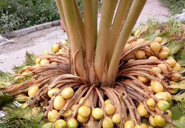 Cây lạ chờ mòn mỏi 10 năm mới ra quả, có chứa độc, ở Việt Nam bán hốt bạc - 13
