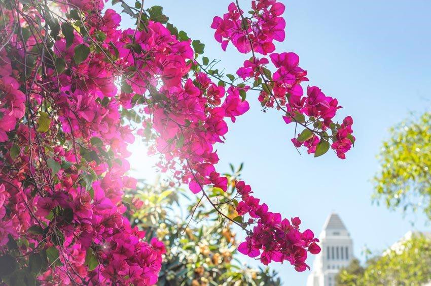 Làm 3 điều này, cây hoa giấy nhà bạn sẽ nở rực rỡ vào mùa thu này - 4