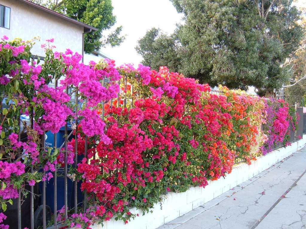 Làm 3 điều này, cây hoa giấy nhà bạn sẽ nở rực rỡ vào mùa thu này - 5
