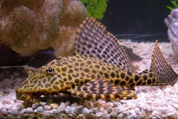 Cá lau kiếng có ăn được không và tại sao không nên nuôi loại cá này?