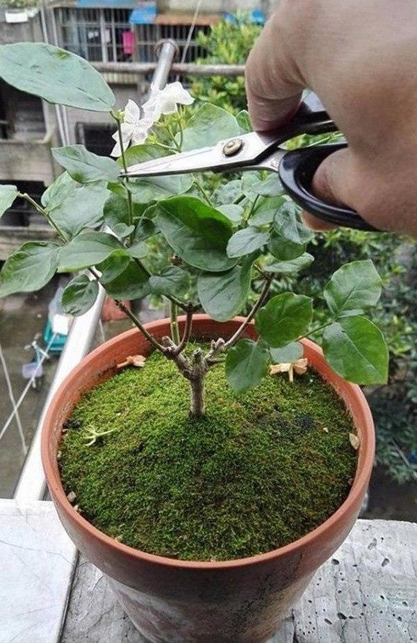 Kỹ thuật cắt tỉa, chăm sóc hoa nhài để cây phát triển tốt, một năm có thể nở 5 lần - 5