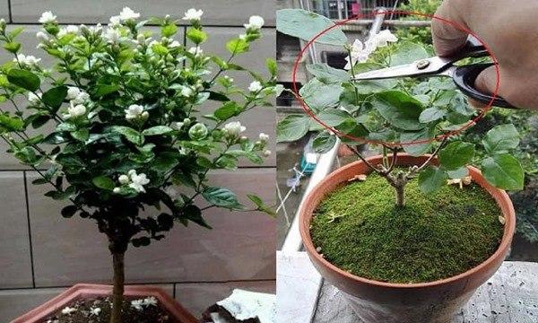 Kỹ thuật cắt tỉa, chăm sóc hoa nhài để cây phát triển tốt, một năm có thể nở 5 lần - 3
