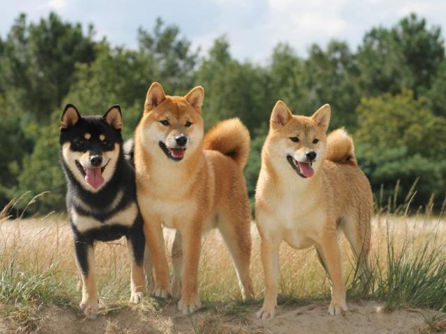 8 giống chó Nhật được ưa chuộng có gì đặc biệt