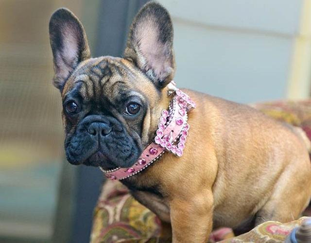 Chó Bull có mấy loại, đặc điểm hình dáng, tính cách và giá bán - 3