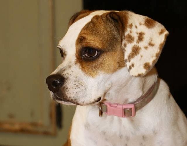 Chó Bull có mấy loại, đặc điểm hình dáng, tính cách và giá bán - 15
