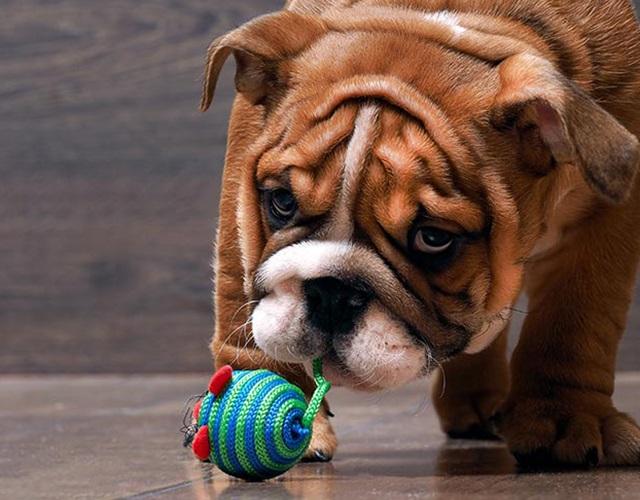 Chó Bull có mấy loại, đặc điểm hình dáng, tính cách và giá bán - 7