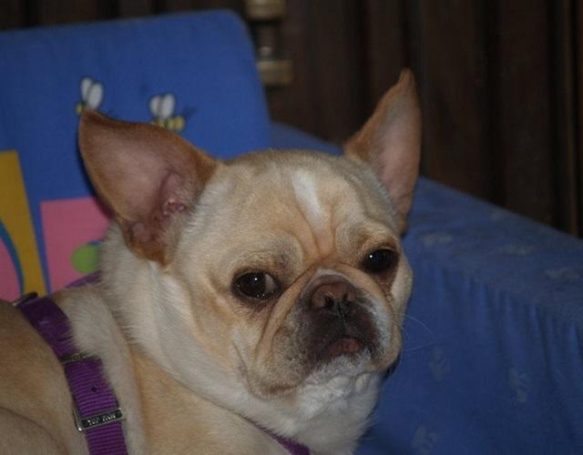 Chó Bull có mấy loại, đặc điểm hình dáng, tính cách và giá bán - 18