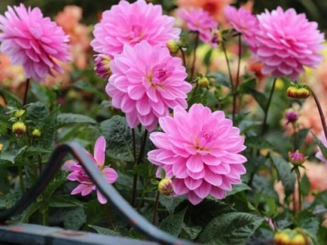 Hoa Thược Dược - Ý nghĩa, cách trồng và chăm sóc hoa nở vào dịp Tết