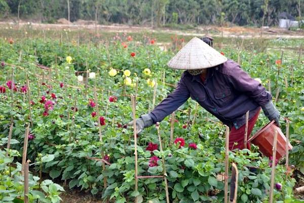 Hoa Thược Dược - Ý nghĩa, cách trồng và chăm sóc hoa nở vào dịp Tết - 4