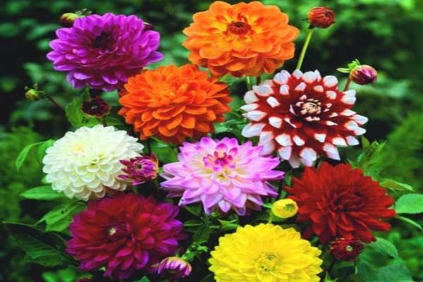 Hoa Thược Dược - Ý nghĩa, cách trồng và chăm sóc hoa nở vào dịp Tết - 3